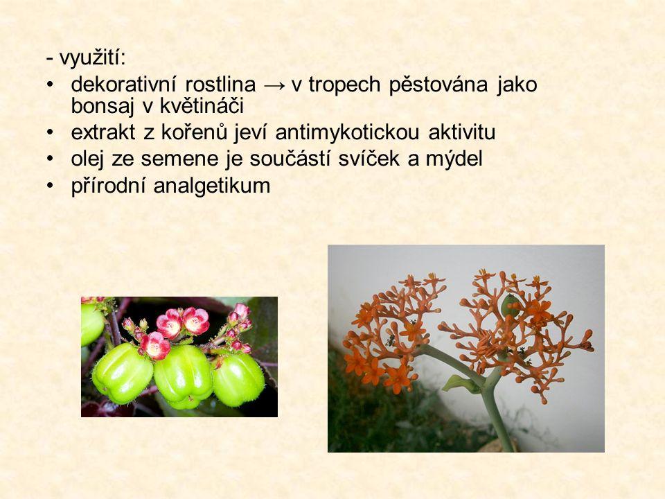 - využití: dekorativní rostlina → v tropech pěstována jako bonsaj v květináči extrakt z kořenů jeví antimykotickou aktivitu olej ze semene je součástí svíček a mýdel přírodní analgetikum