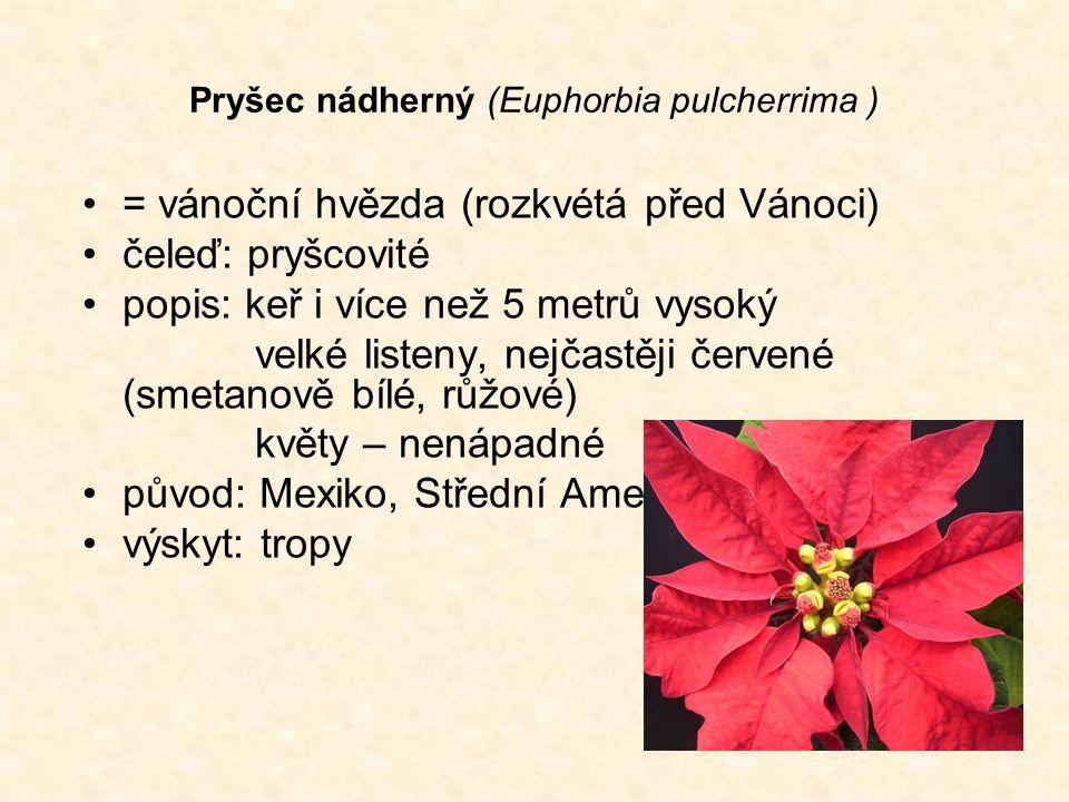 Pryšec nádherný (Euphorbia pulcherrima ) = vánoční hvězda (rozkvétá před Vánoci) čeleď: pryšcovité popis: keř i více než 5 metrů vysoký velké listeny, nejčastěji červené (smetanově bílé, růžové) květy – nenápadné původ: Mexiko, Střední Amerika výskyt: tropy