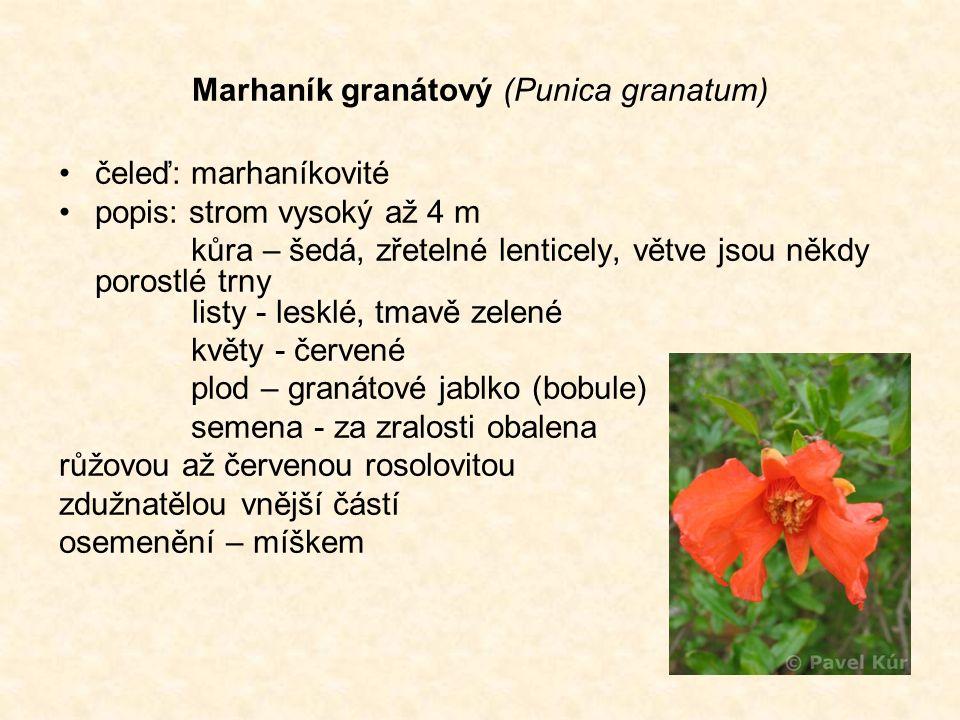 Marhaník granátový (Punica granatum) čeleď: marhaníkovité popis: strom vysoký až 4 m kůra – šedá, zřetelné lenticely, větve jsou někdy porostlé trny listy - lesklé, tmavě zelené květy - červené plod – granátové jablko (bobule) semena - za zralosti obalena růžovou až červenou rosolovitou zdužnatělou vnější částí osemenění – míškem