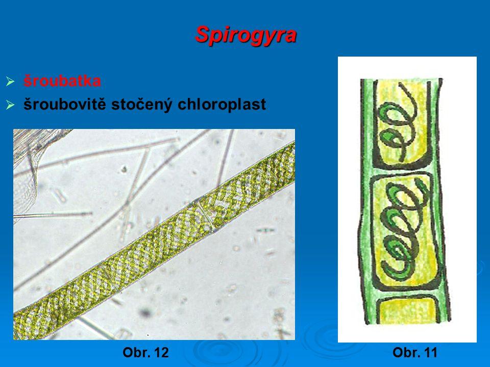 Spirogyra  šroubatka  šroubovitě stočený chloroplast Obr. 11Obr. 12
