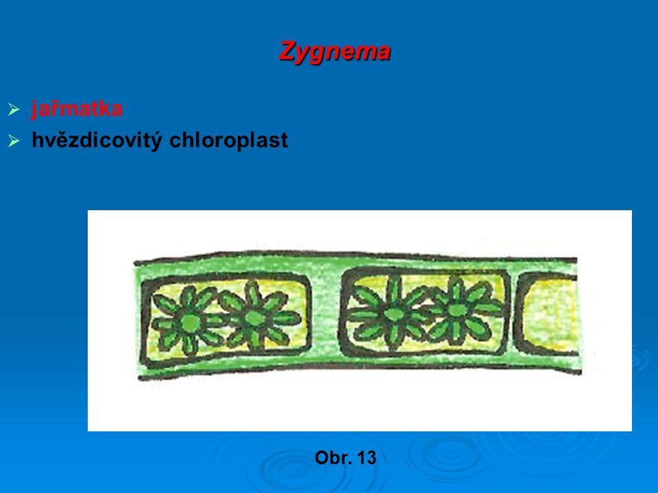 Zygnema Zygnema  jařmatka  hvězdicovitý chloroplast Obr. 13
