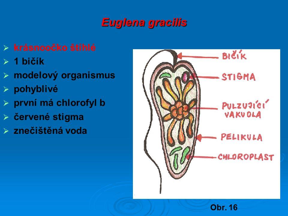 Euglena gracilis  krásnoočko štíhlé  1 bičík  modelový organismus  pohyblivé  první má chlorofyl b  červené stigma  znečištěná voda Obr.