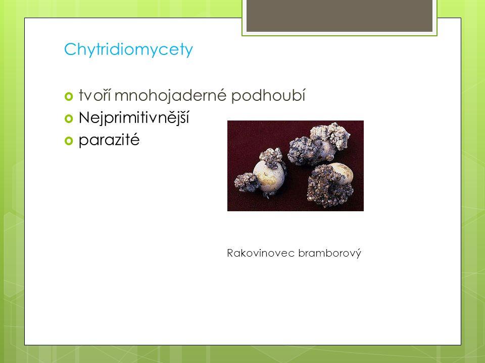 Chytridiomycety  tvoří mnohojaderné podhoubí  Nejprimitivnější  parazité Rakovinovec bramborový
