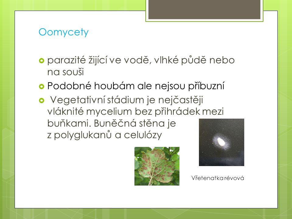 Oomycety  parazité žijící ve vodě, vlhké půdě nebo na souši  Podobné houbám ale nejsou příbuzní  Vegetativní stádium je nejčastěji vláknité myceliu