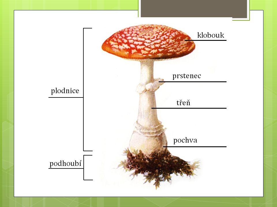 Význam hub:  nezbytné pro mnoho potravinářských technologií (kvasinky)  Jedlé druhy slouží jako potravina (hřib)  Ve farmaceutickém a chemickém průmyslu (penicilin)  symbióza se sinicemi nebo zelenými řasami – lišejníky