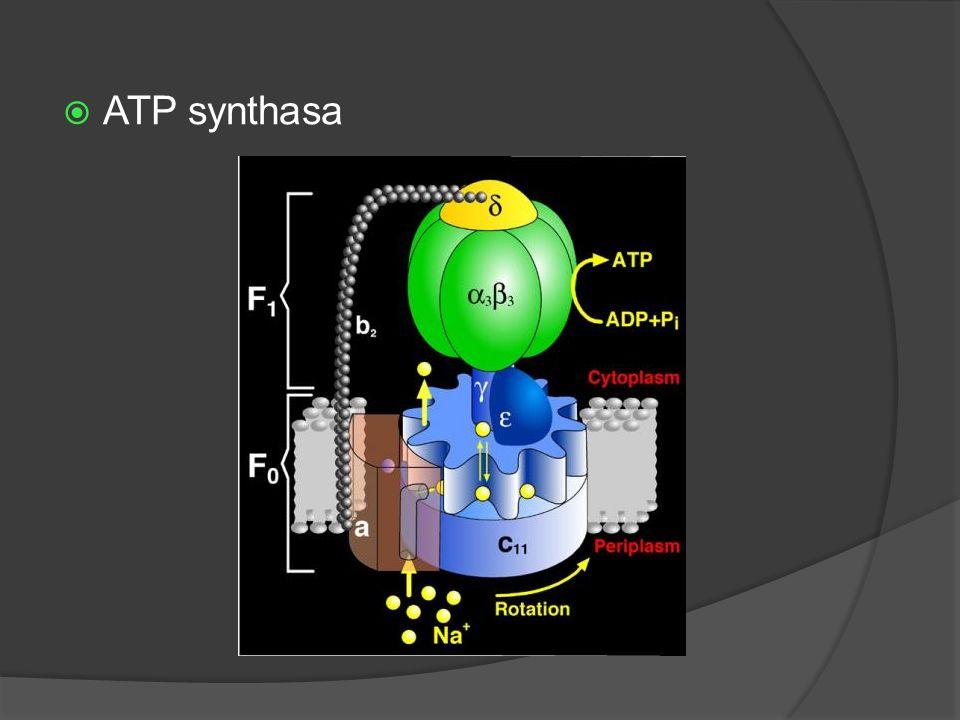  ATP synthasa