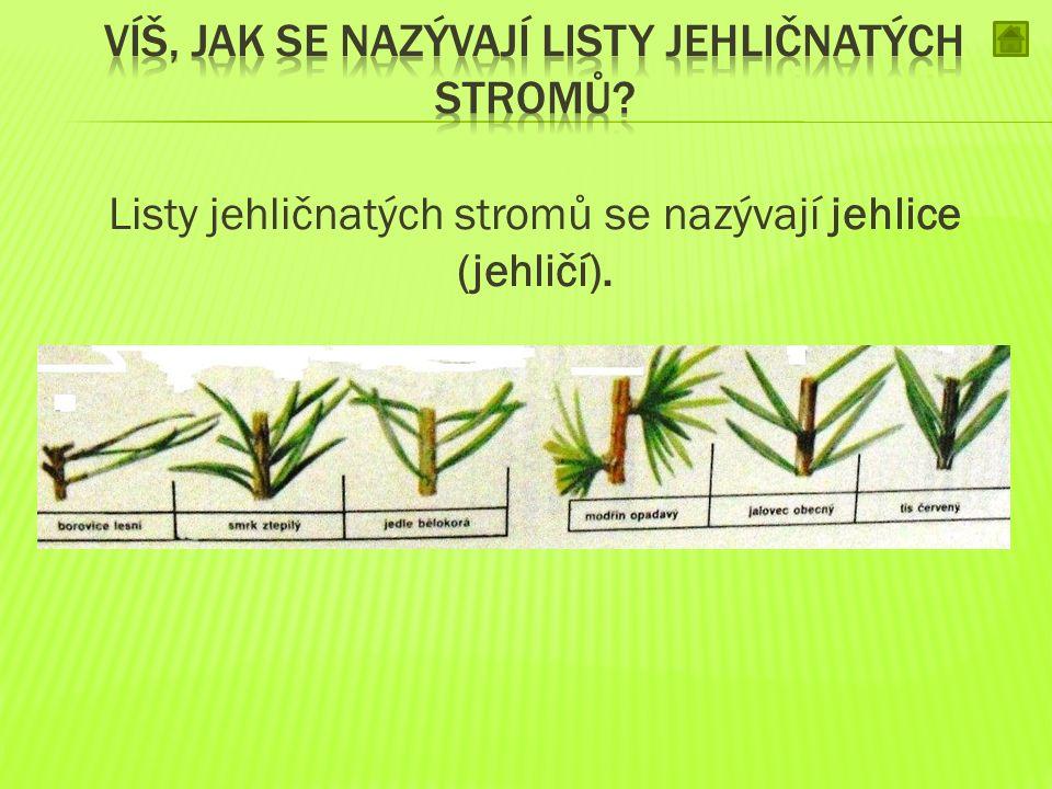 Listy jehličnatých stromů se nazývají jehlice (jehličí).