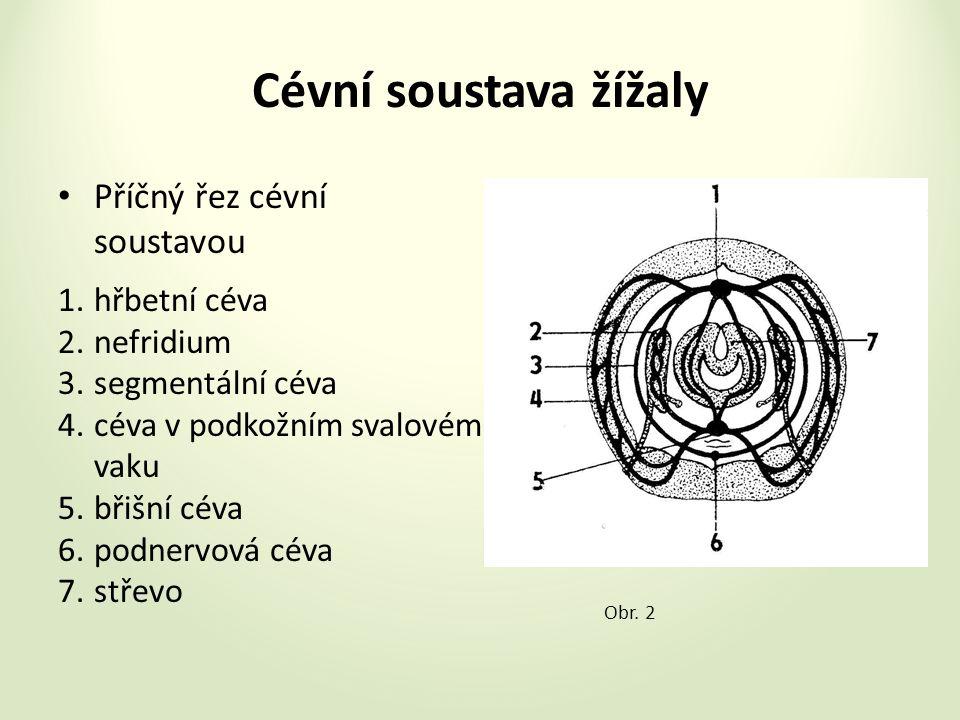 Cévní soustava žížaly Příčný řez cévní soustavou 1.hřbetní céva 2.nefridium 3.segmentální céva 4.céva v podkožním svalovém vaku 5.břišní céva 6.podnervová céva 7.střevo Obr.