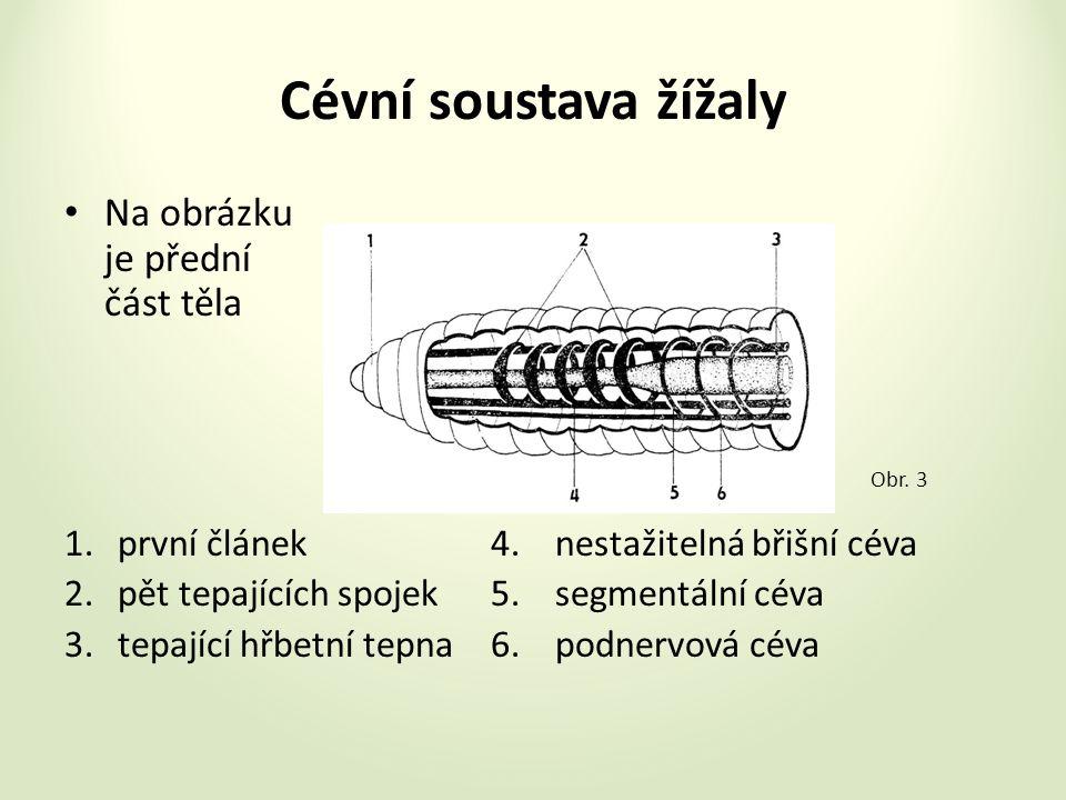 Cévní soustava žížaly Na obrázku je přední část těla 1.první článek4.