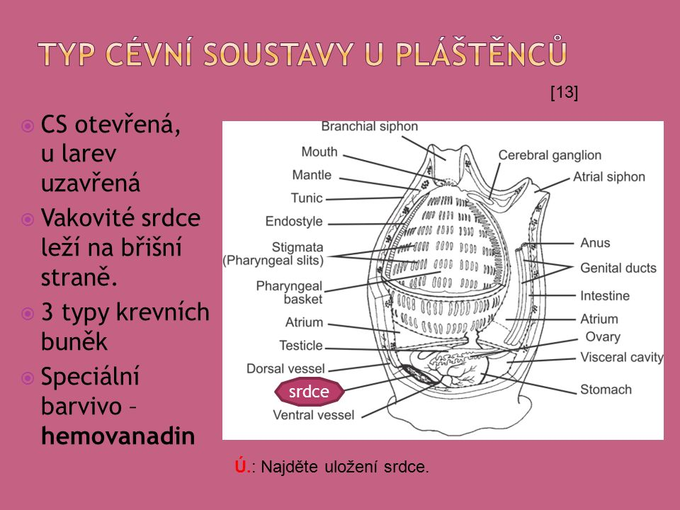  CS otevřená, u larev uzavřená  Vakovité srdce leží na břišní straně.