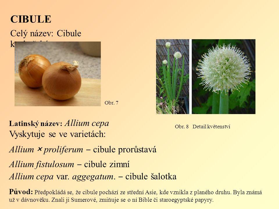 Latinský název: Allium cepa Vyskytuje se ve varietách: Allium × proliferum ‒ cibule prorůstavá Allium fistulosum ‒ cibule zimní Allium cepa var.