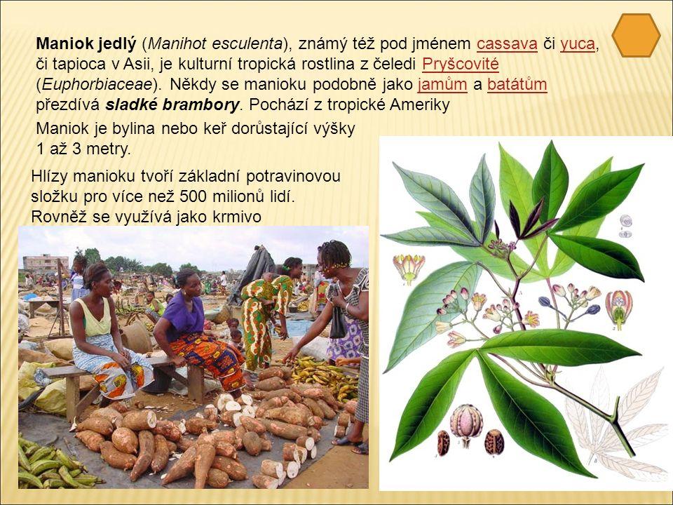 Maniok jedlý (Manihot esculenta), známý též pod jménem cassava či yuca, či tapioca v Asii, je kulturní tropická rostlina z čeledi Pryšcovité (Euphorbiaceae).