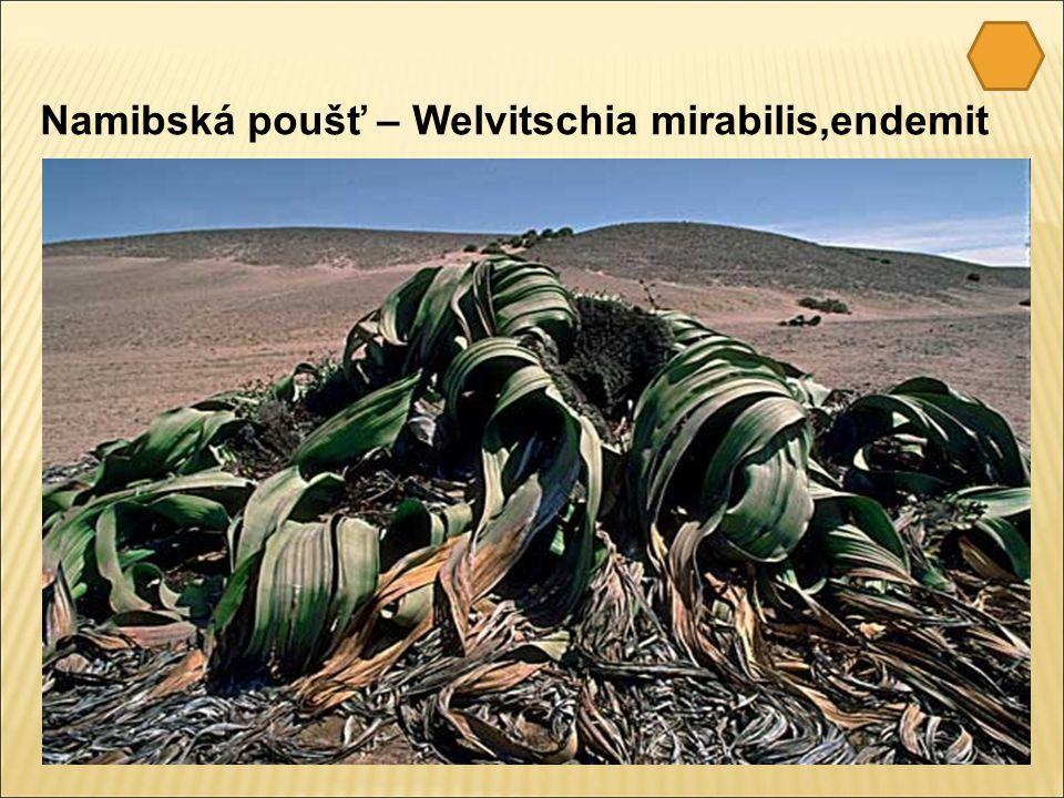 Namibská poušť – Welvitschia mirabilis,endemit