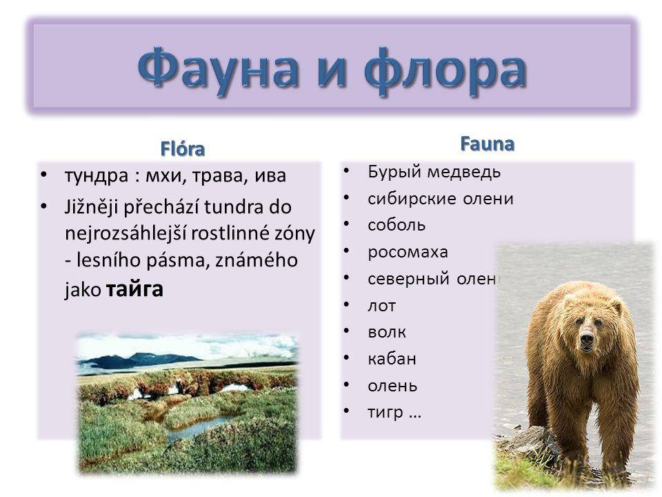 Fauna тундра : мхи, трава, ива Jižněji přechází tundra do nejrozsáhlejší rostlinné zóny - lesního pásma, známého jako тайга Flóra Бурый медведь сибирс