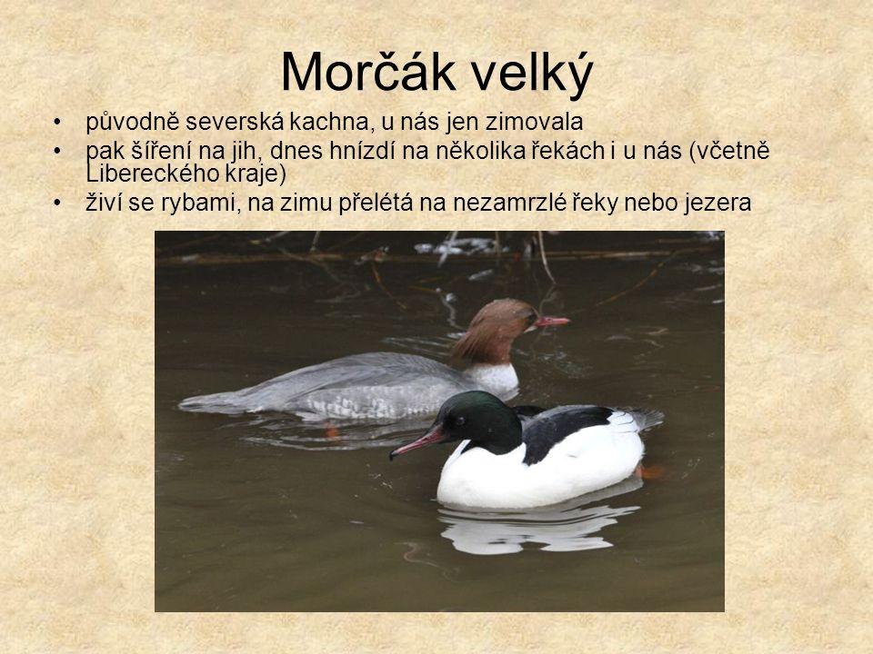 Morčák velký původně severská kachna, u nás jen zimovala pak šíření na jih, dnes hnízdí na několika řekách i u nás (včetně Libereckého kraje) živí se