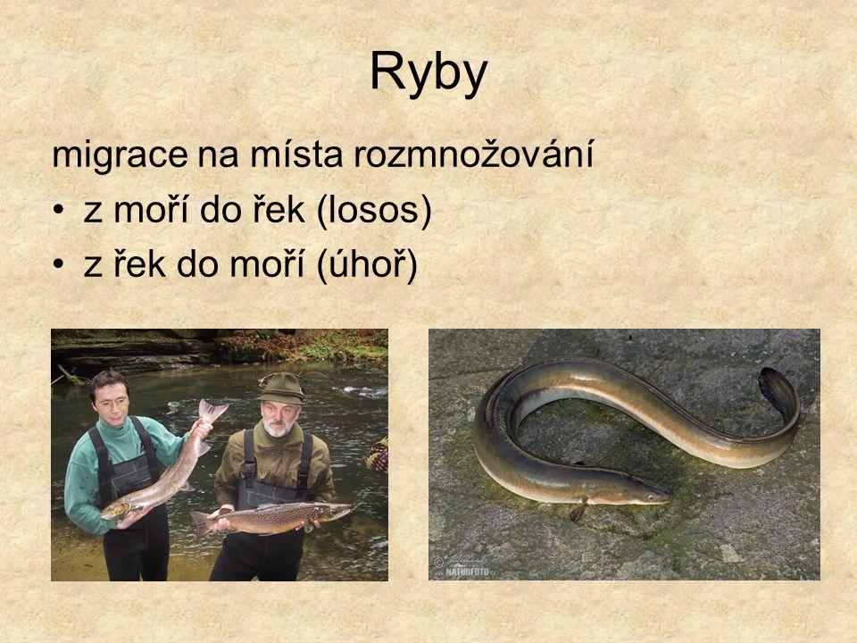 Ryby migrace na místa rozmnožování z moří do řek (losos) z řek do moří (úhoř)