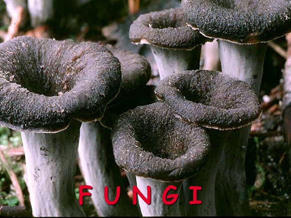 Základní pojmy zFungi - samostatná říše Eukaryot zvznik asi před 1 mld.