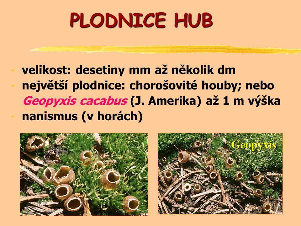 PLODNICE HUB -velikost: desetiny mm až několik dm -největší plodnice: chorošovité houby; nebo Geopyxis cacabus (J.