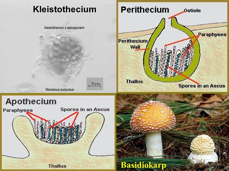 TYPY PLODNIC KLEISTOTHECIUM KLEISTOTHECIUM – kulovitá, mikroskopická, bez otvíracího aparátu PERITHECIUM PERITHECIUM – lahvicovitá, drobná, ostiolum přítomné APOTHECIUM APOTHECIUM – miskovitá, druhotně bez otvíracího aparátu BASIDIOKARP BASIDIOKARP – kloboukatá plodnice stopkovýtrusných hub; lupeny, rourky Kleistothecium Basidiokarp