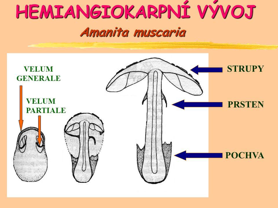 HEMIANGIOKARPNÍ VÝVOJ VELUM GENERALE VELUM PARTIALE STRUPY PRSTEN POCHVA Amanita muscaria