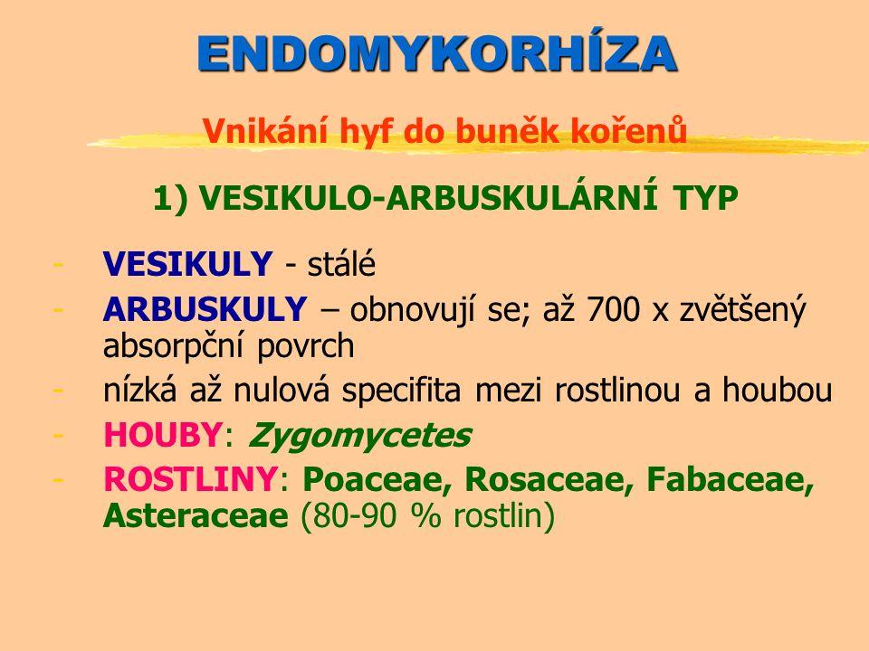 ENDOMYKORHÍZA Vnikání hyf do buněk kořenů 1) VESIKULO-ARBUSKULÁRNÍ TYP -VESIKULY - stálé -ARBUSKULY – obnovují se; až 700 x zvětšený absorpční povrch -nízká až nulová specifita mezi rostlinou a houbou -HOUBY: Zygomycetes -ROSTLINY: Poaceae, Rosaceae, Fabaceae, Asteraceae (80-90 % rostlin)