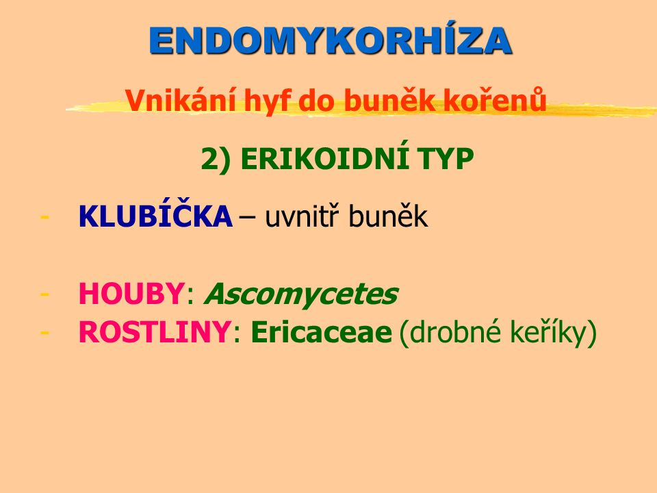 ENDOMYKORHÍZA Vnikání hyf do buněk kořenů 2) ERIKOIDNÍ TYP -KLUBÍČKA – uvnitř buněk -HOUBY: Ascomycetes -ROSTLINY: Ericaceae (drobné keříky)