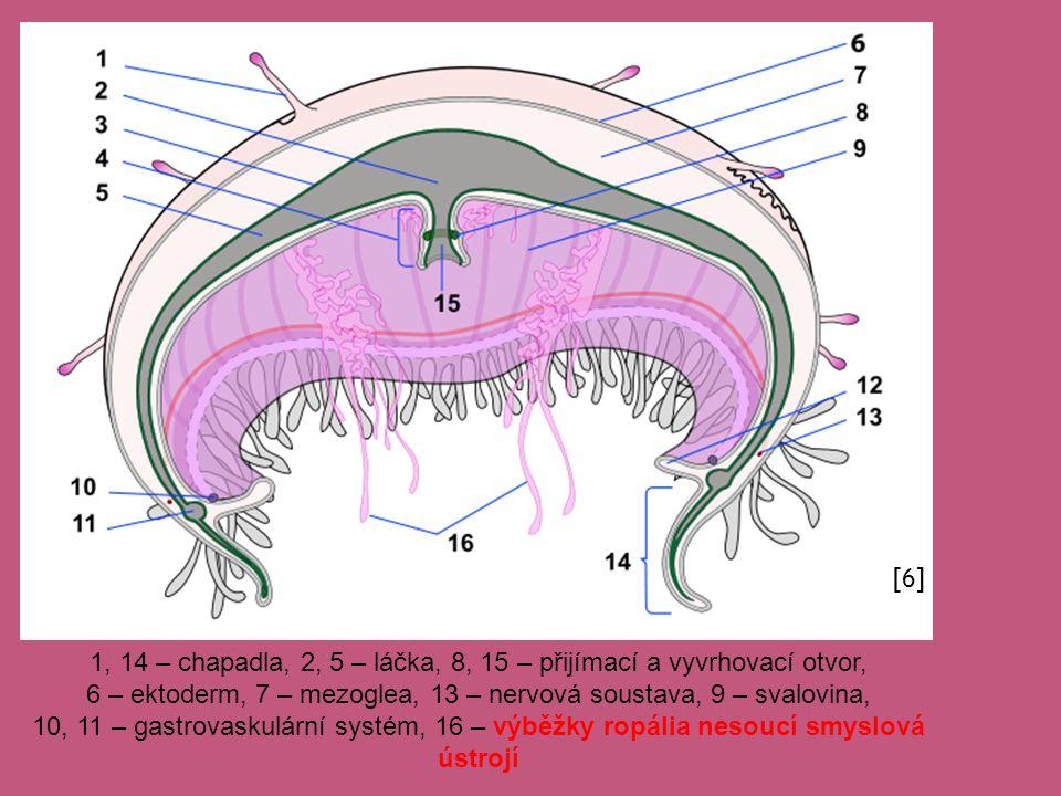 1, 14 – chapadla, 2, 5 – láčka, 8, 15 – přijímací a vyvrhovací otvor, 6 – ektoderm, 7 – mezoglea, 13 – nervová soustava, 9 – svalovina, 10, 11 – gastr