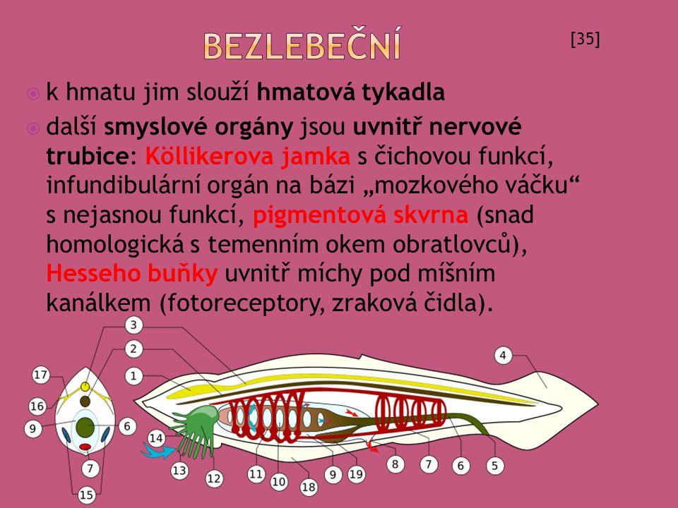  k hmatu jim slouží hmatová tykadla  další smyslové orgány jsou uvnitř nervové trubice: Köllikerova jamka s čichovou funkcí, infundibulární orgán na