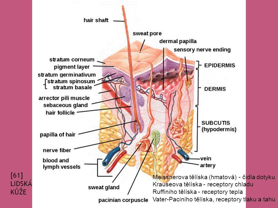 [61] LIDSKÁ KŮŽE Meissnerova tělíska (hmatová) - čidla dotyku Krauseova tělíska - receptory chladu Ruffiniho tělíska - receptory tepla Vater-Paciniho