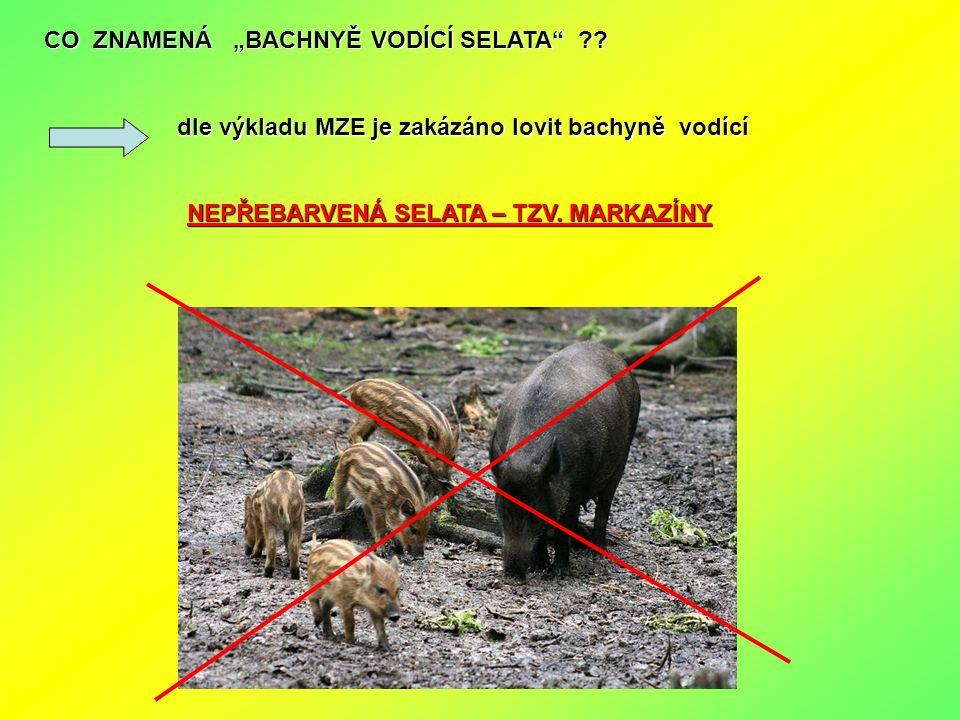 """CO ZNAMENÁ """"BACHNYĚ VODÍCÍ SELATA"""" ?? dle výkladu MZE je zakázáno lovit bachyně vodící dle výkladu MZE je zakázáno lovit bachyně vodící NEPŘEBARVENÁ S"""