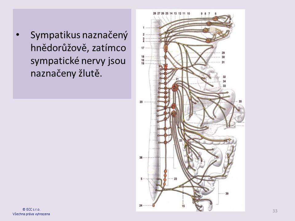 Sympatikus naznačený hnědorůžově, zatímco sympatické nervy jsou naznačeny žlutě. © ECC s.r.o. Všechna práva vyhrazena 33