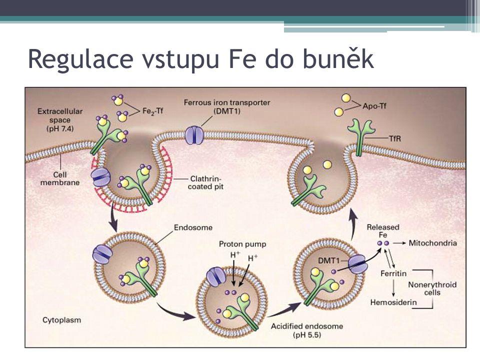 Regulace vstupu Fe do buněk