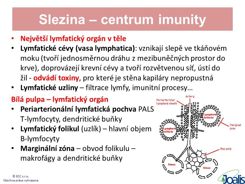 Slezina – centrum imunity Největší lymfatický orgán v těle Lymfatické cévy (vasa lymphatica): vznikají slepě ve tkáňovém moku (tvoří jednosměrnou dráhu z mezibuněčných prostor do krve), doprovázejí krevní cévy a tvoří rozvětvenou síť, ústí do žil - odvádí toxiny, pro které je stěna kapiláry nepropustná Lymfatické uzliny – filtrace lymfy, imunitní procesy… Bílá pulpa – lymfatický orgán Periarterionální lymfatická pochva PALS T-lymfocyty, dendritické buňky Lymfatický folikul (uzlík) – hlavní objem B-lymfocyty Marginální zóna – obvod folikulu – makrofágy a dendritické buňky © ECC s.r.o.