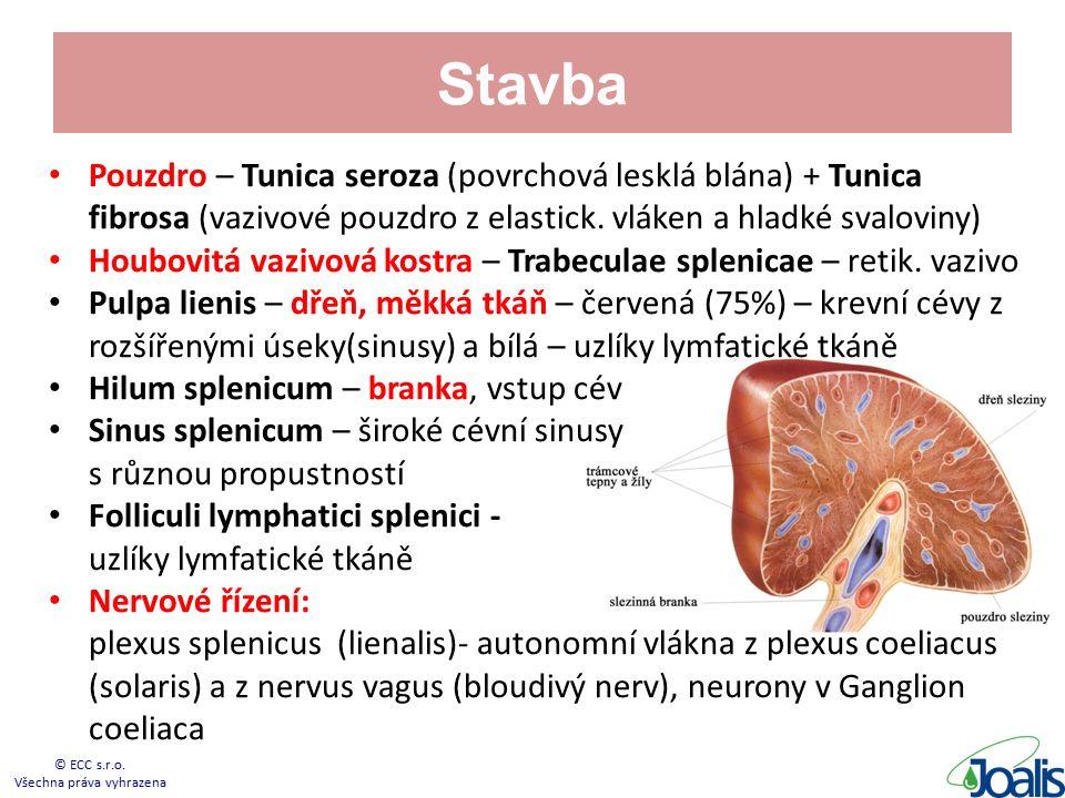 Stavba Pouzdro – Tunica seroza (povrchová lesklá blána) + Tunica fibrosa (vazivové pouzdro z elastick.