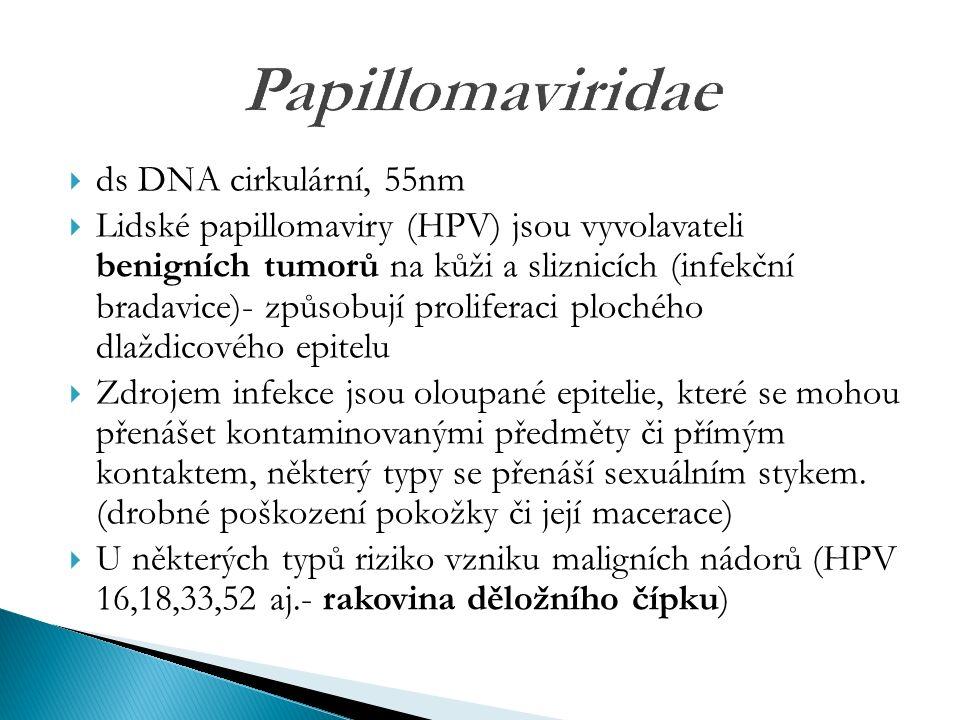 Papillomaviridae  ds DNA cirkulární, 55nm  Lidské papillomaviry (HPV) jsou vyvolavateli benigních tumorů na kůži a sliznicích (infekční bradavice)- způsobují proliferaci plochého dlaždicového epitelu  Zdrojem infekce jsou oloupané epitelie, které se mohou přenášet kontaminovanými předměty či přímým kontaktem, některý typy se přenáší sexuálním stykem.