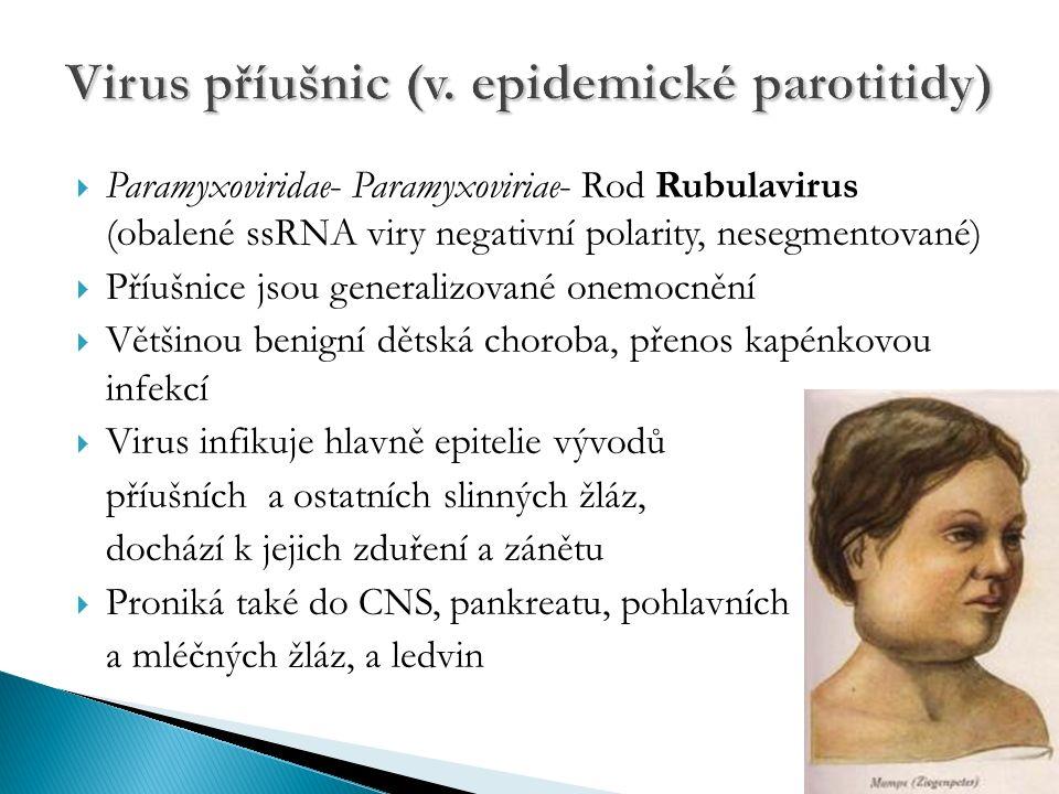  Paramyxoviridae- Paramyxoviriae- Rod Rubulavirus (obalené ssRNA viry negativní polarity, nesegmentované)  Příušnice jsou generalizované onemocnění  Většinou benigní dětská choroba, přenos kapénkovou infekcí  Virus infikuje hlavně epitelie vývodů příušních a ostatních slinných žláz, dochází k jejich zduření a zánětu  Proniká také do CNS, pankreatu, pohlavních a mléčných žláz, a ledvin