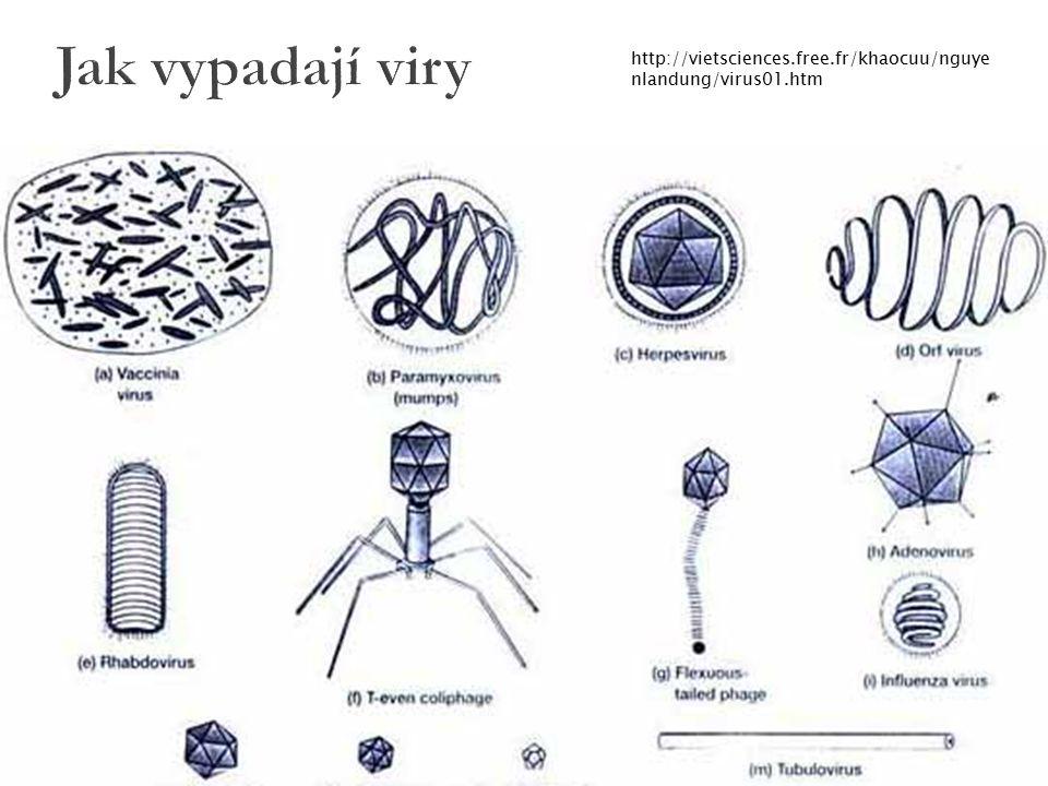  ds DNA neobalené viry  Kubická symetrie kapsidy (pravidelný dvacetistěn) s výběžky (adsorpce na vnímavou buňku)  Rod Mastadenovirus (zvířecí a lidské adenoviry)