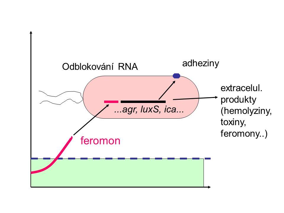 feromon Odblokování RNA...agr, luxS, ica... adheziny extracelul.