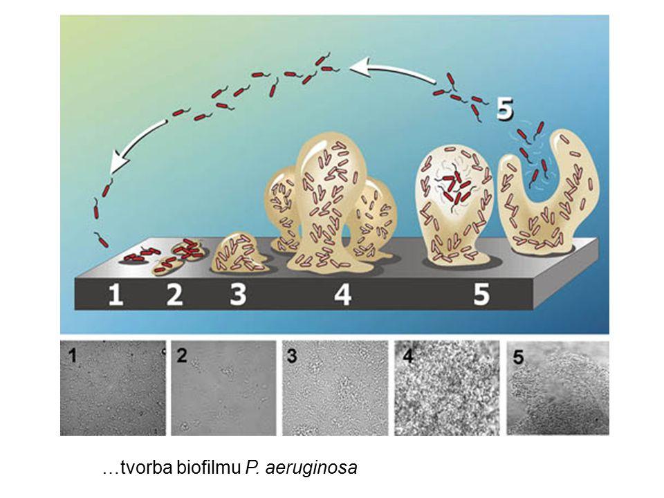 …tvorba biofilmu P. aeruginosa