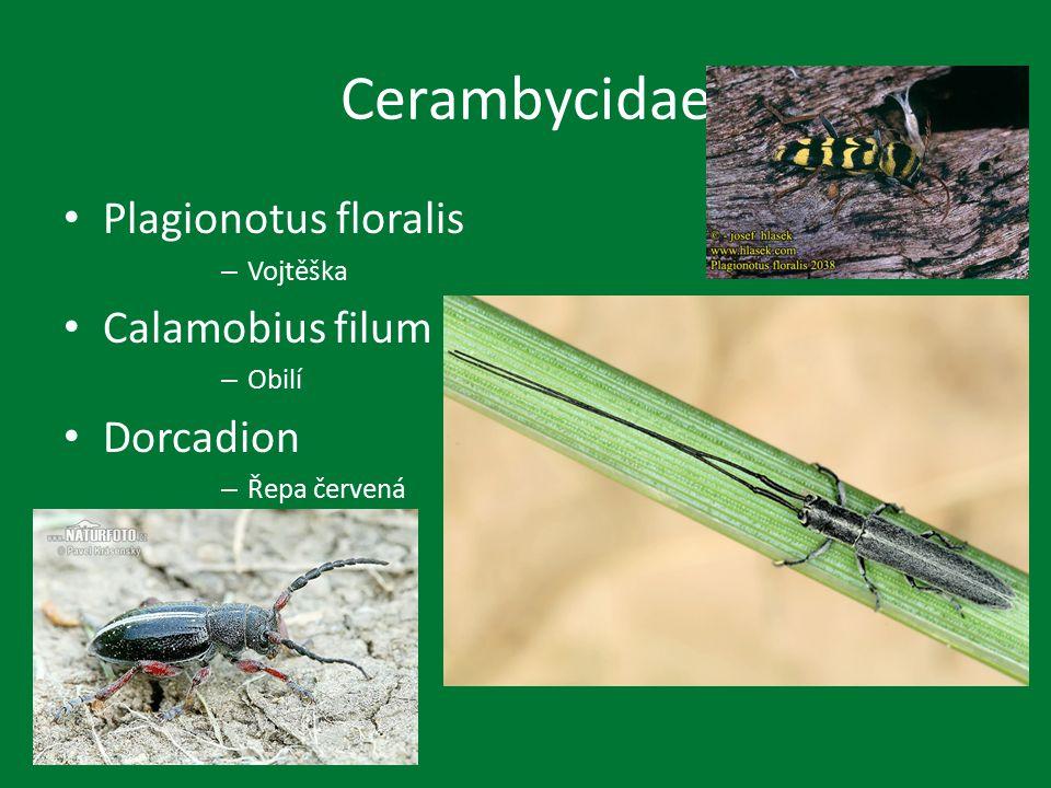 Cerambycidae Plagionotus floralis – Vojtěška Calamobius filum – Obilí Dorcadion – Řepa červená