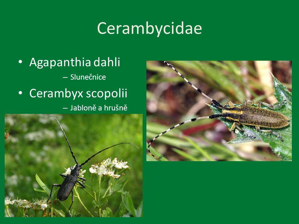 Cerambycidae Agapanthia dahli – Slunečnice Cerambyx scopolii – Jabloně a hrušně