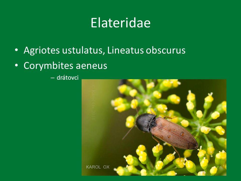 Elateridae Agriotes ustulatus, Lineatus obscurus Corymbites aeneus – drátovci