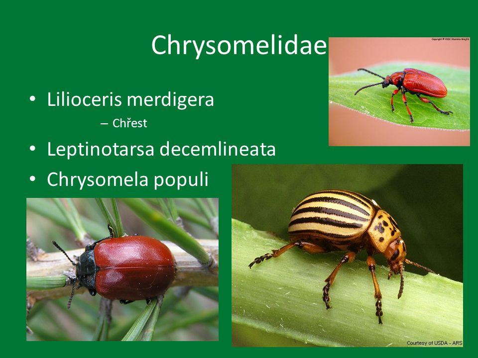 Chrysomelidae Lilioceris merdigera – Chřest Leptinotarsa decemlineata Chrysomela populi
