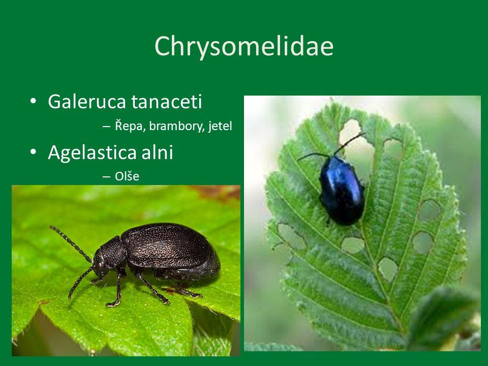 Chrysomelidae Galeruca tanaceti – Řepa, brambory, jetel Agelastica alni – Olše