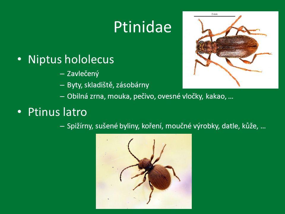 Další čeledi Silphidae – mršiny Tenebrionidae – mouční červy Anobiidae – tabák, domy, pily, – uskladněné dřevo – podlahy Cleridae – biologický boj