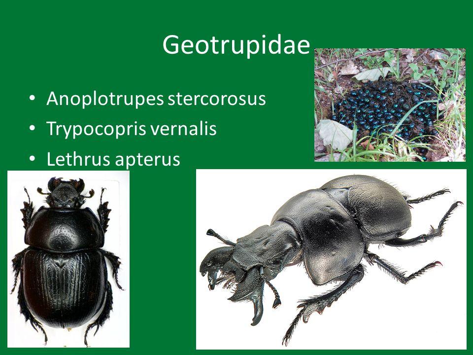 Scarabaeidae Aphodius fimetarius Ontophagus ovatus Scarabaeus laticollis