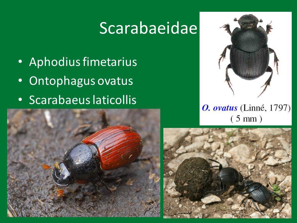 Scolytoidea Cryphalus piceae – jedle Ips cembrae – modřín