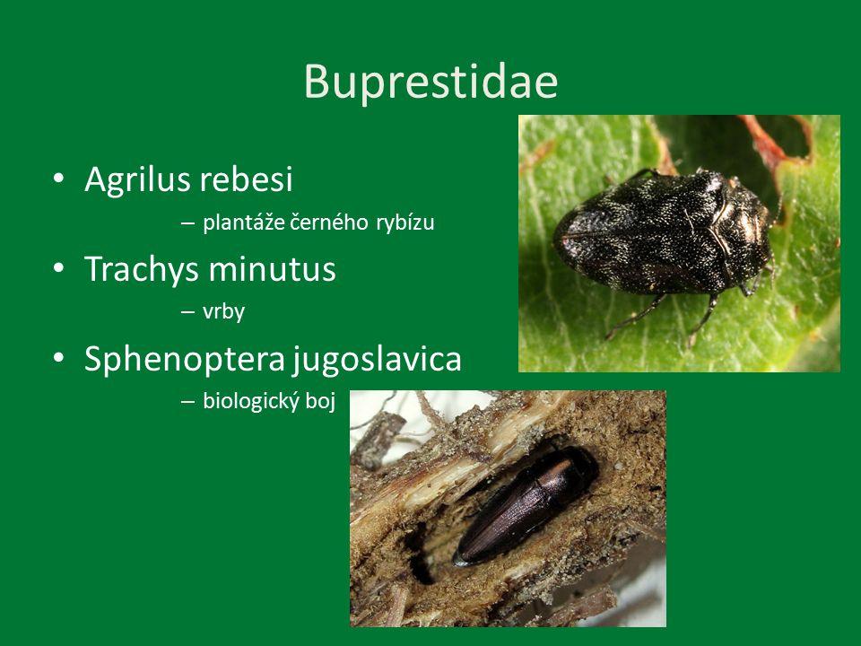 Scolytoidea Scolytus multistriatrs – Přenašeč grafiózy