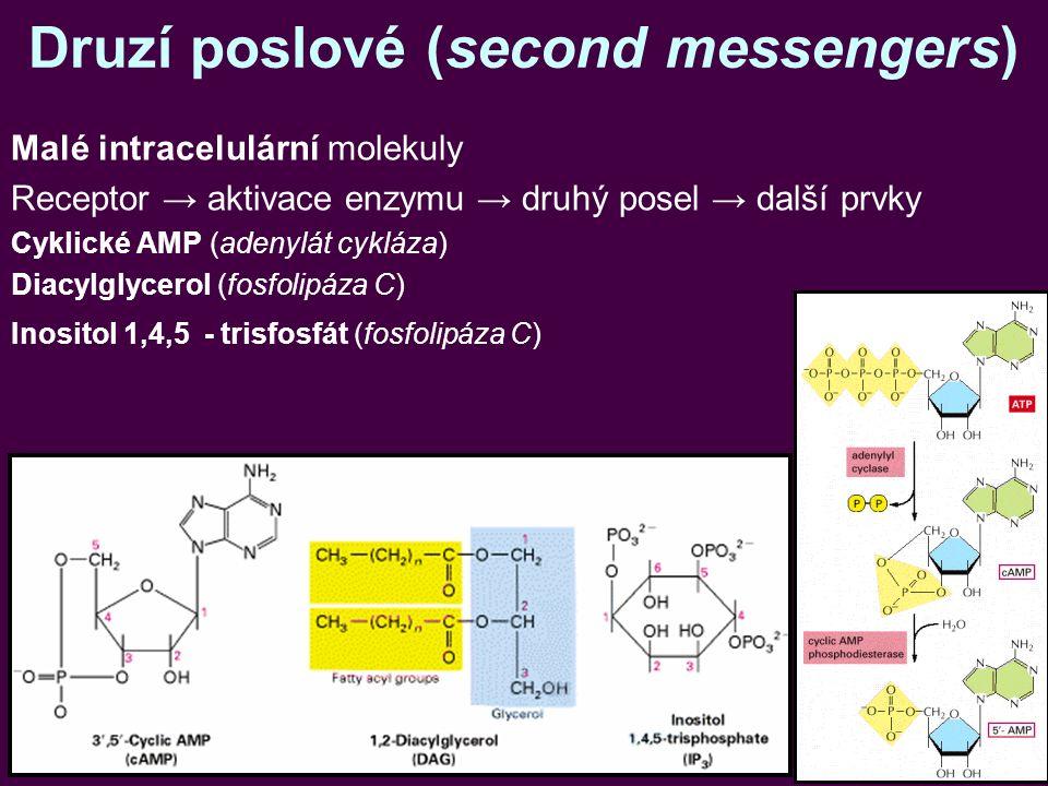 Druzí poslové (second messengers) Malé intracelulární molekuly Receptor → aktivace enzymu → druhý posel → další prvky Cyklické AMP (adenylát cykláza) Diacylglycerol (fosfolipáza C) Inositol 1,4,5 - trisfosfát (fosfolipáza C)