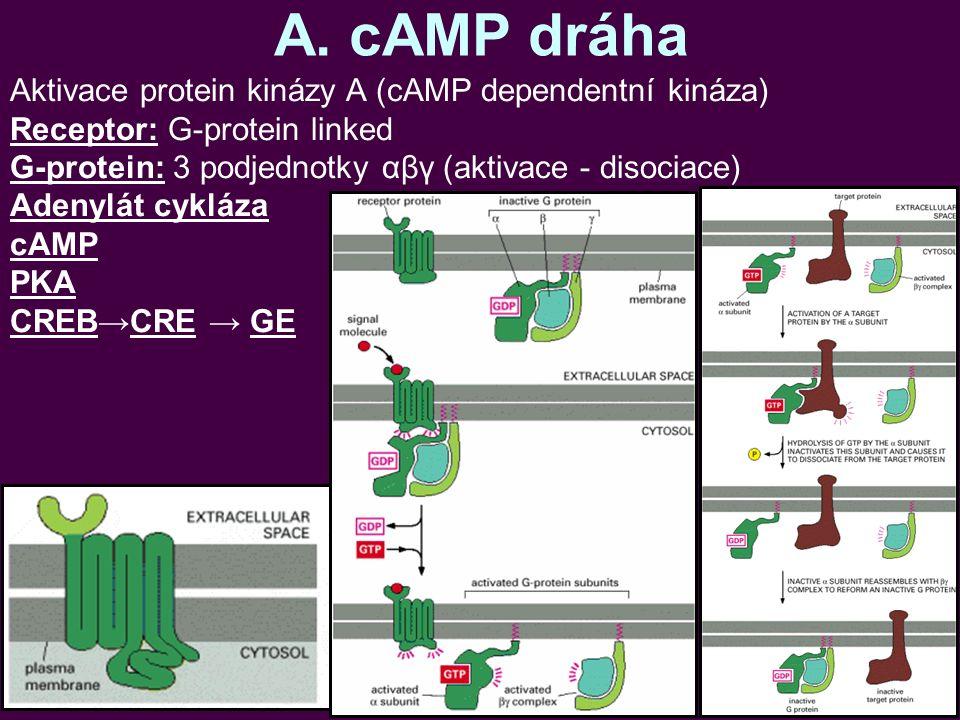 A. cAMP dráha Aktivace protein kinázy A (cAMP dependentní kináza) Receptor: G-protein linked G-protein: 3 podjednotky αβγ (aktivace - disociace) Adeny